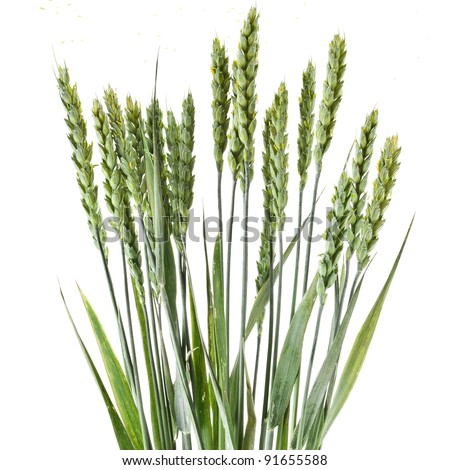 wheat grains on white background