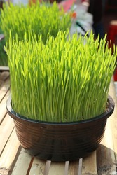Wheat grass, fresh green, fully grown in black plastic pots set on a bamboo carriage.