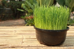 Wheat grass, fresh green, fully grown in black plastic pots set on a bamboo carriage on the right side with the garden background.