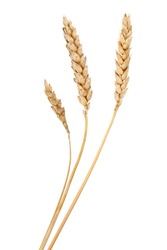 Wheat grass isolated over white. Agriculture background.