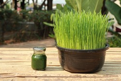 Wheat grass juice and Wheat grass fresh green fully grown in black plastic pots set on a bamboo carriage.