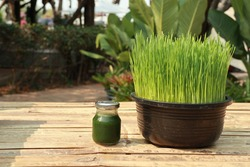 Wheat grass juice and Wheat grass, fresh green, fully grown in black plastic pots set on the left of bamboo carriage.
