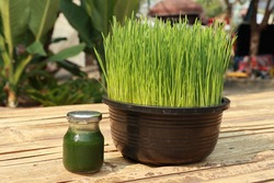 Wheat grass juice in the glass bottle  and wheat grass fresh green, fully grown in black plastic pot set on a bamboo carriage.