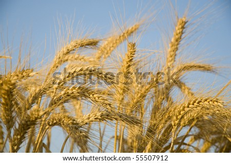 Wheat group