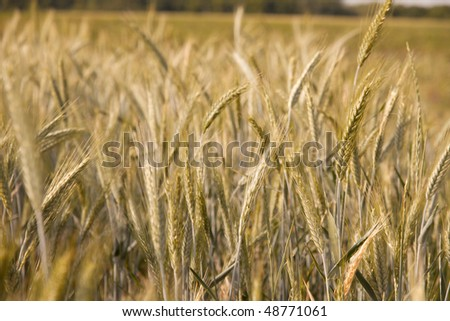 Wheat growing on an agricultural field in summer