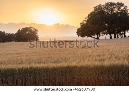 Wheat harvest on the sunset #462637930