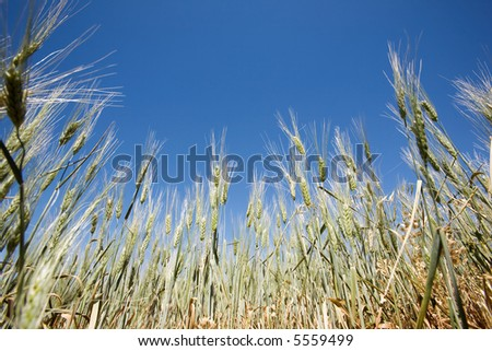 Wheat in a field against a clear blue sky taken from a low vantage point.