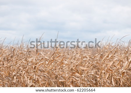 Wheat in autumn on a windy day