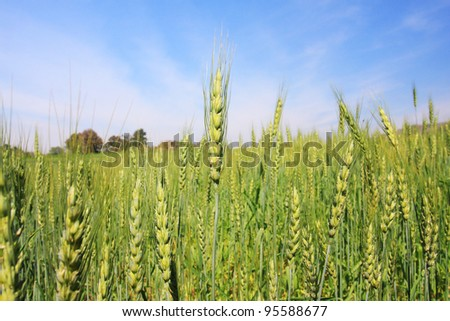 wheat in green field with blue sky