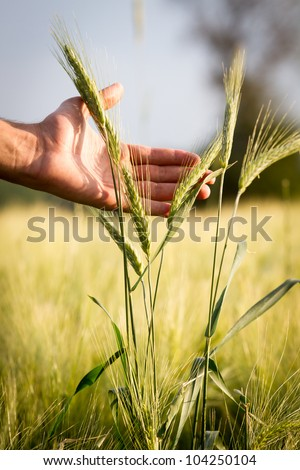 Wheat in hands. Field of wheat on background.
