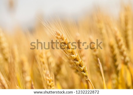 Wheat in the farm