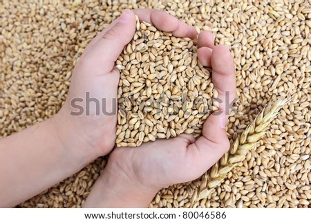 wheat in the hands
