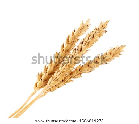 wheat isolated on white close up. Ears of wheat. Isolated bunch of golden wheat ear after the harvest.