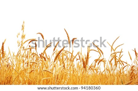 Wheat on a white background. Wheat crop.