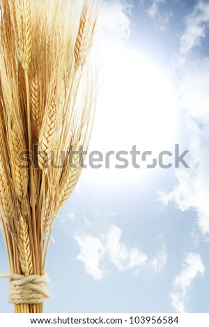 wheat on blue sky with sunrise
