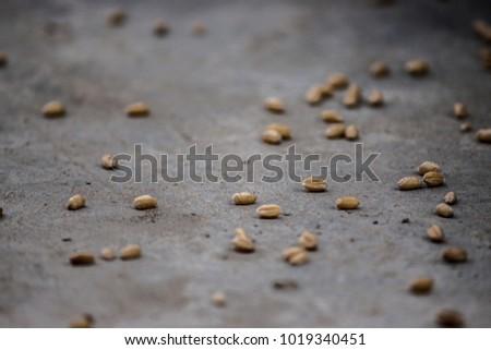 Wheat on ground #1019340451