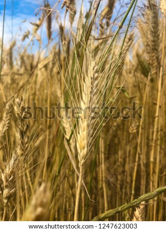 Wheat on the field  #1247623003