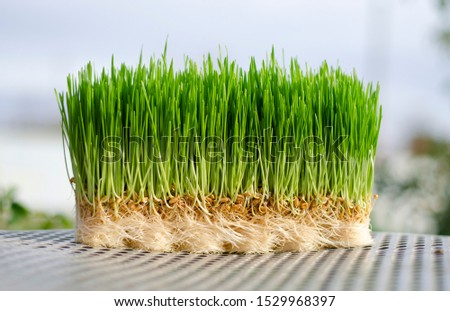 Wheat Plant growing. Nature background of fresh nature organic food