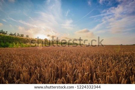 Wheat plant in sunset #1224332344