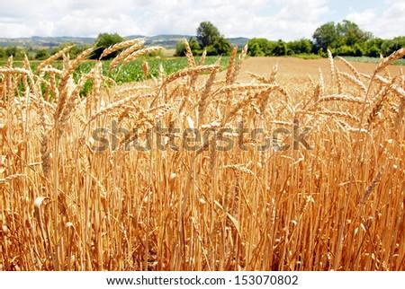 wheat plant on field