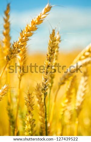 wheat plants - stock photo