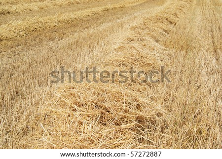 wheat residues - stock photo