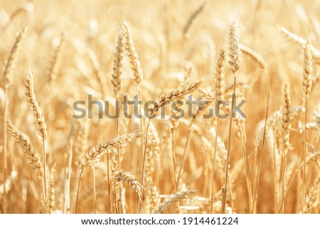 Wheat Rye Field, Ears of wheat close up. Harvest and harvesting concept. Ripe barley on the field on late summer morning time, sunrise backlight, shallow depth of the field