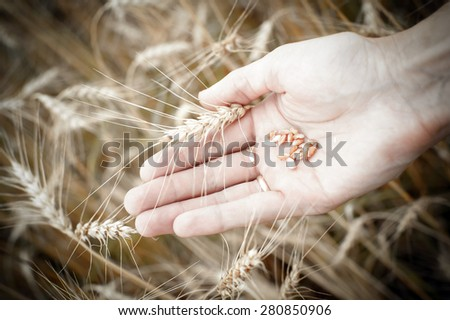 wheat seed in hand and ear, vintage color