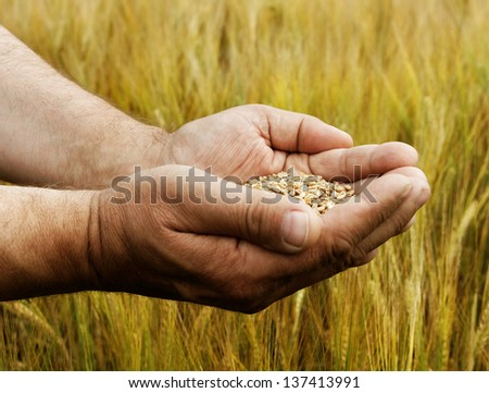 Wheat seed in the hand.