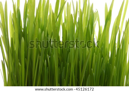 wheat seedling