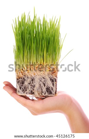 wheat seedling on the hand