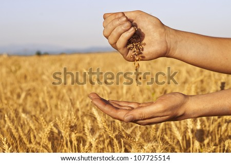 Wheat seeds falling in hand in wheat-field background