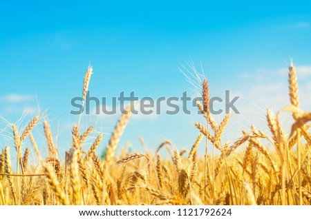wheat spike and blue sky close-up. a golden field. beautiful view. symbol of harvest and fertility. Harvesting, bread. #1121792624