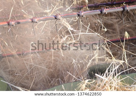 Wheat spike being harvested harvester closeup #1374622850