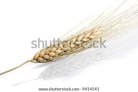 Wheat spike closeup, isolated on white with a slight reflection beneath - stock photo