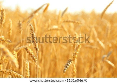 Wheat spikelets in field on sunny day #1131604670