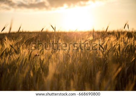 Wheat spikes at sunrise. #668690800
