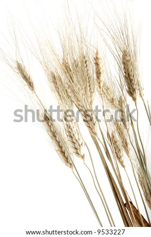 Wheat spikes, isolated on white - stock photo