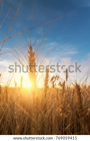 wheat stalk on the background of the dawn / rays of the sun passing through the wheat - Shutterstock ID 769059415
