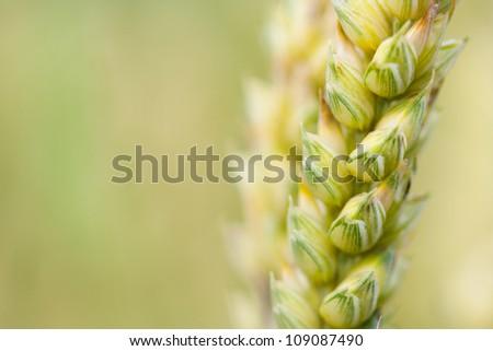 Wheat stem closeup. Blurred background