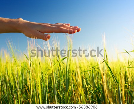 Wheat stems and hand - stock photo