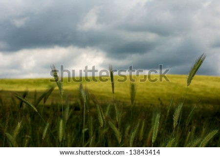 Wheat stems standing up against stormy sky