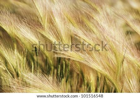 Wheat tassels