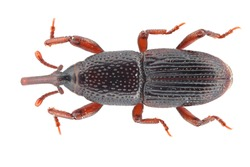 Wheat weevil, grain weevil (Sitophilus granarius) beetle isolated on a white background. The most important pest of stored cereal grains