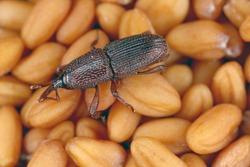 wheat weevil Sitophilus granarius beetle on seeds
