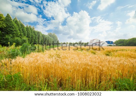 Wheat wheat field wheat field