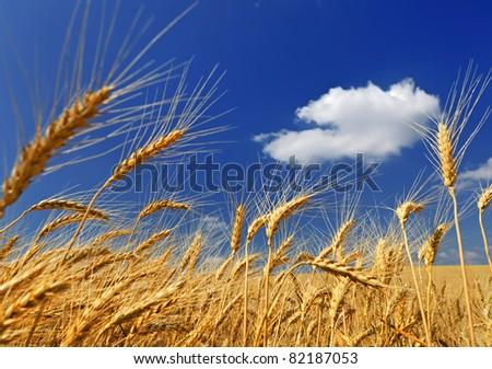 Wheaten field against a blue sky