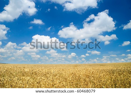 Wheaten field and the dark sky