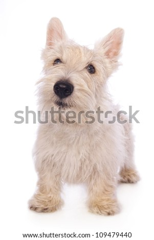 Wheaten Scottish Terrier dog standing isolated on white background