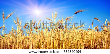 Wheatfield symbol of the flag of Ukraine, the yellow-blue color of the sky and bread. Beautiful sunny flavor, pure and peaceful land of sky against a background of good ecology #369340454